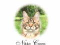 Nikkocoons chatterie de Maine Coons roux et silvers.