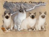 La chatterie de Chaungtha