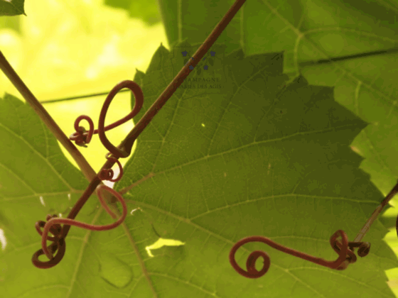 Champagne dames des agis : exploitation viticole familiale