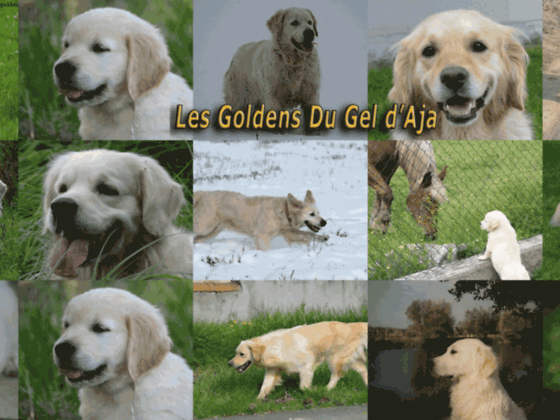 golden retriever du gel d'aja